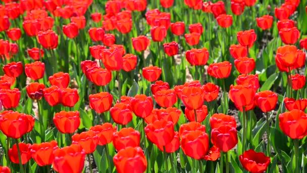 Sok fajták piros tulipán a virágágyásba