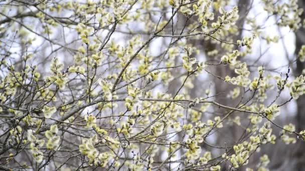 Brzy na jaře kvetoucí Vrba