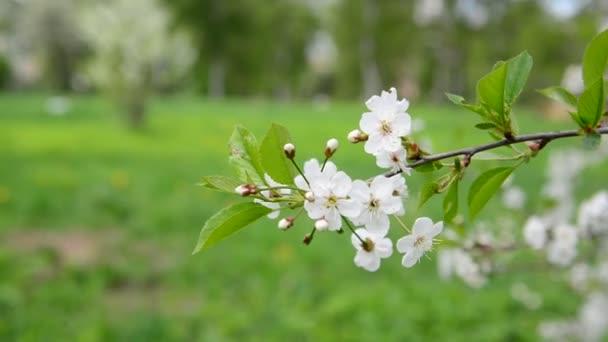 Cseresznyefa, fehér virágok tavasszal