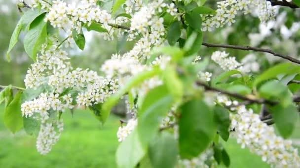 virágzó bird cherry-tavaszi szél