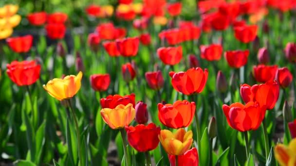 Mnoho odrůd červené a oranžové tulipány na záhonu