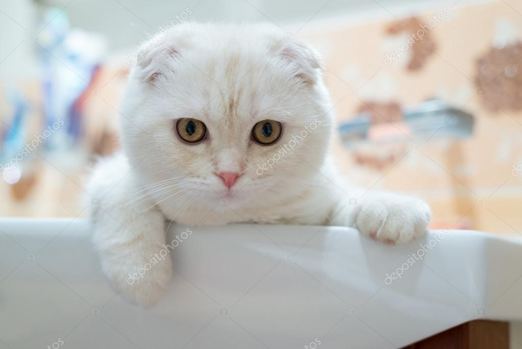 Scottish Fold kitten liggen in wastafel in badkamer — Stockfoto ...