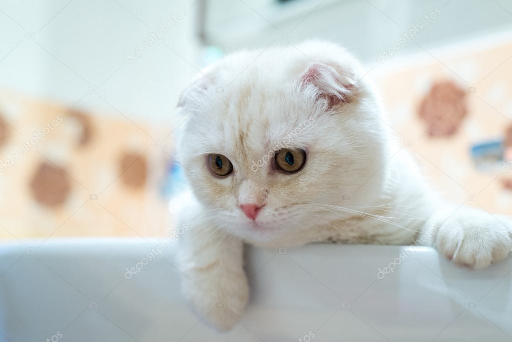 Scottish Fold kitten liggen in wastafel in badkamer — Stockfoto ...