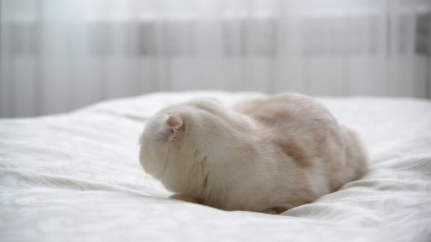 Scottish Fold kitten licking the fur on bed