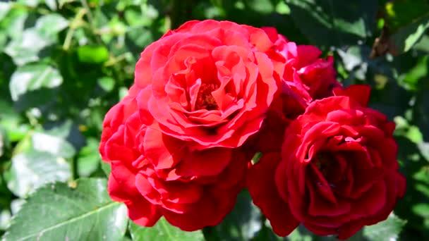 méh pollinates egy csokor vörös rózsa