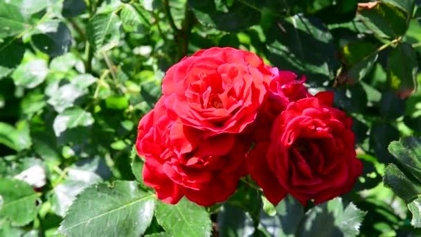 včela opyluje kytice rudých růží