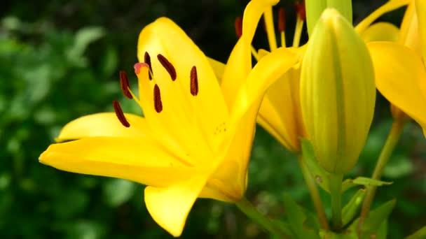 a nagy porzószálból sárga liliom