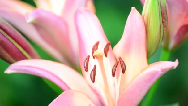 Big pink lily close-up