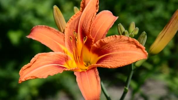Big lilies in the garden