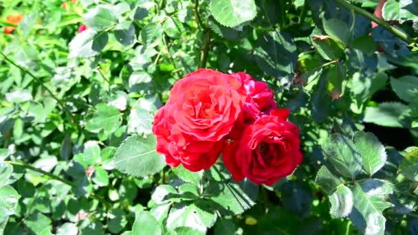 Krásné červené růže bush v záhonu