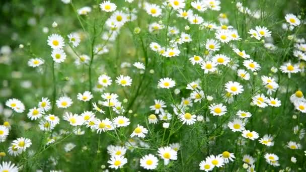 Many daisies growing in meadow, Russia