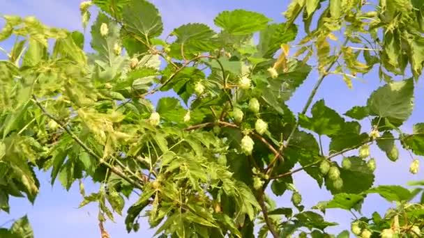 Hop s kužely zabalené javor