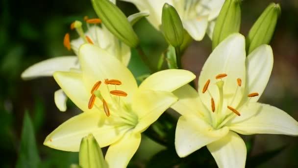 Žlutá lilie Velká odrůdová zblízka