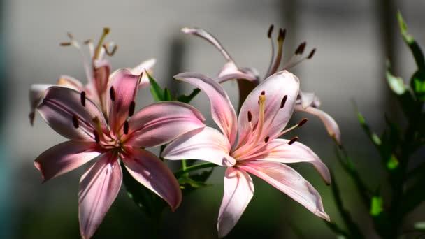 Napos világos rózsaszín liliom