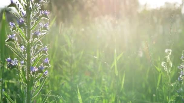 Kék rét virág közelkép naplemente fényben, Oroszország