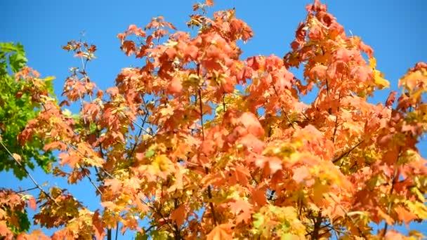 Krásné podzimní Javorové listy na slunečný den