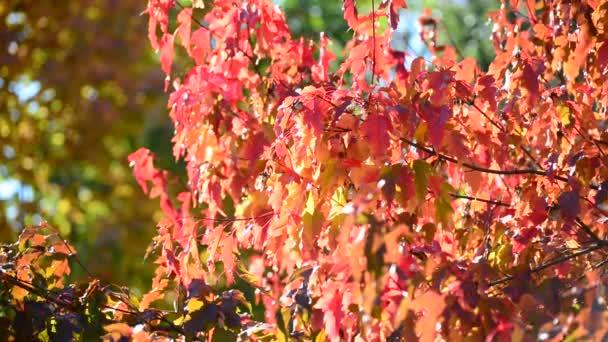 Beautiful autumn maple leaves on  sunny day