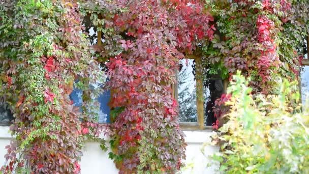 Apartman ház ablakában vadszőlőt