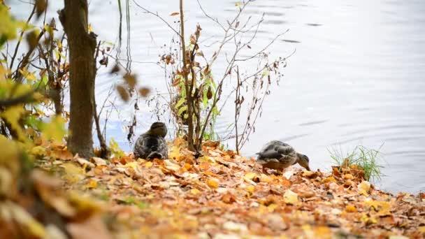 wild duck on the lake in  autumn