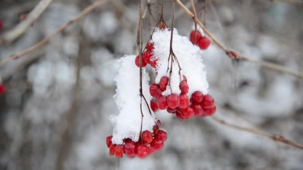 Viburnum-Beeren im Winter mit Schnee bedeckt.