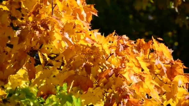 Beautiful maple leaves in autumn on  sunny day