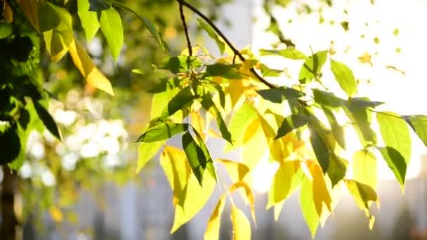 Krásné Javorové listy na podzim na slunečný den