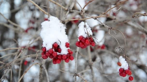 Kalina bobule pokrytý sněhem v zimě.