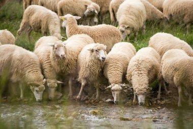 "Картина, постер, плакат, фотообои ""животноводческое хозяйство - стадо овец "", артикул 87693896"