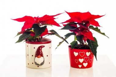 Two poinsettia flowers in Xmas pots