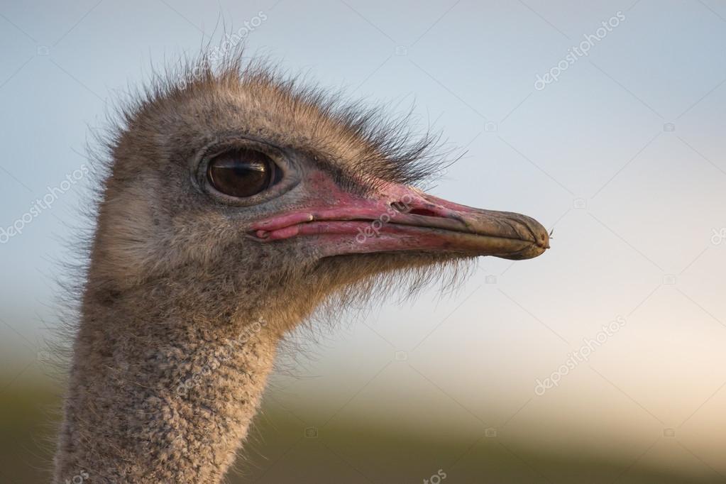 μεγάλο τριχωτό πουλί εικόνες