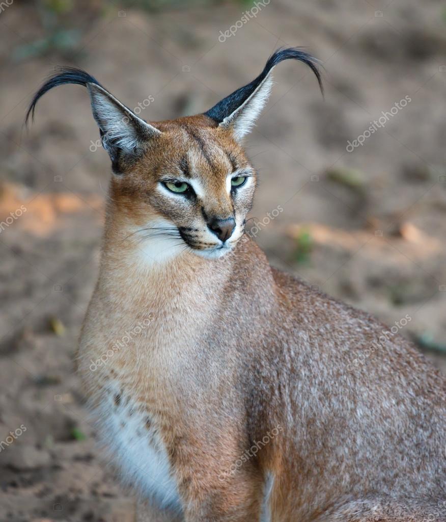 Karakal Dziki Kot Portret Zdjęcie Stockowe Fouroaks 78427544