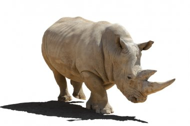 Rhinoceros with a shade, isolation on a white background.