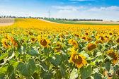 Světlé letní slunečnice