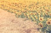 Obiloviny a slunečnice pole zobrazení