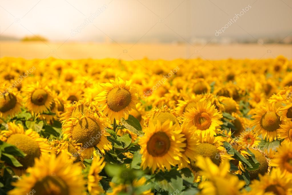 Bright Summer Sunflowers Field