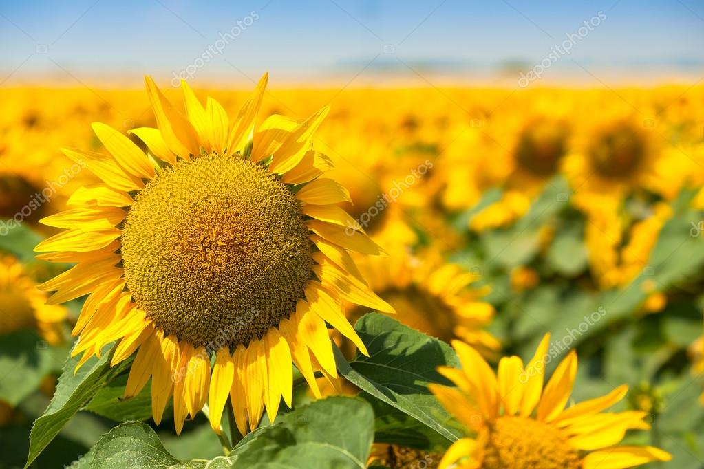 Blooming sunflowers in field