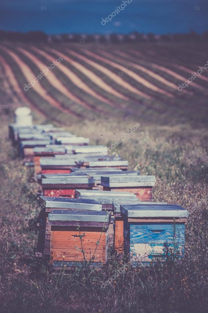 Beehives on the sunflower field