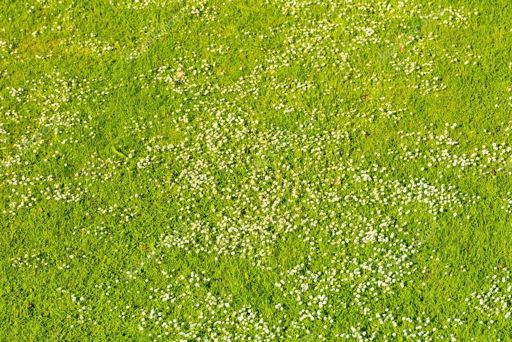 bia e stokrotki na zielony trawnik wiosn zdj cie stockowe dvoevnore 97835382. Black Bedroom Furniture Sets. Home Design Ideas