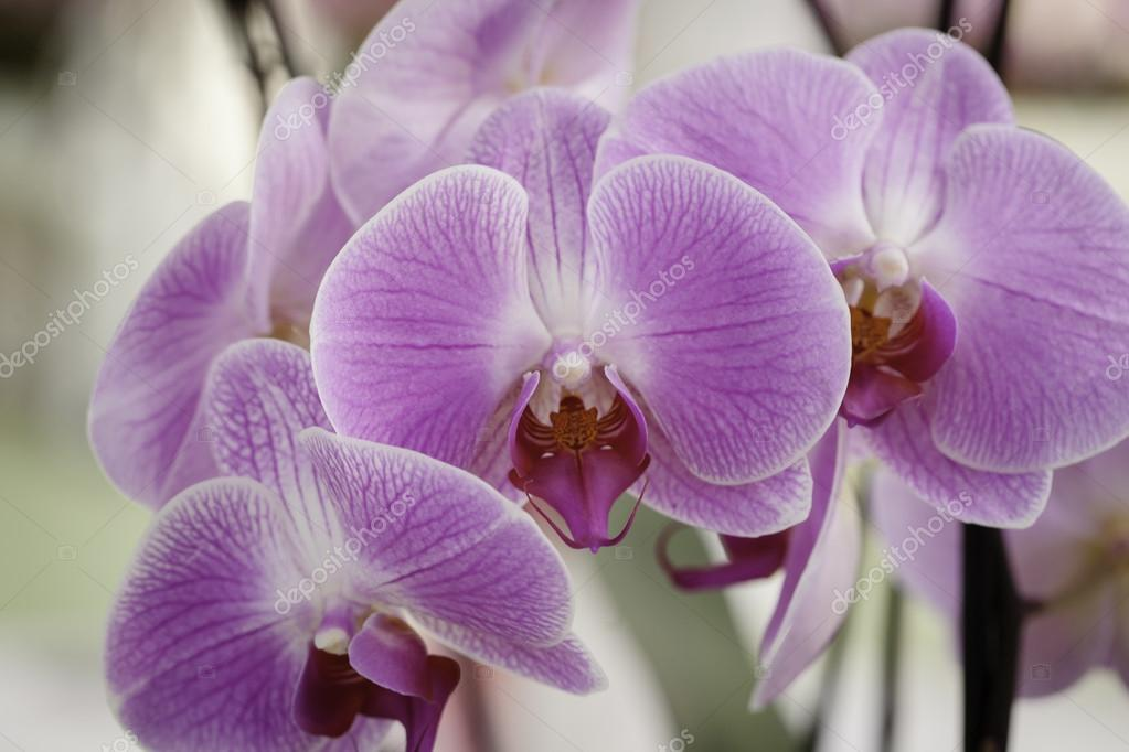 Close-up of pink orchid phalaenopsis