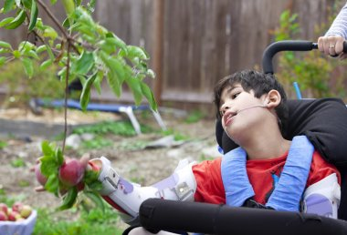 Disabled boy in wheelchair picking apples off fruit tree