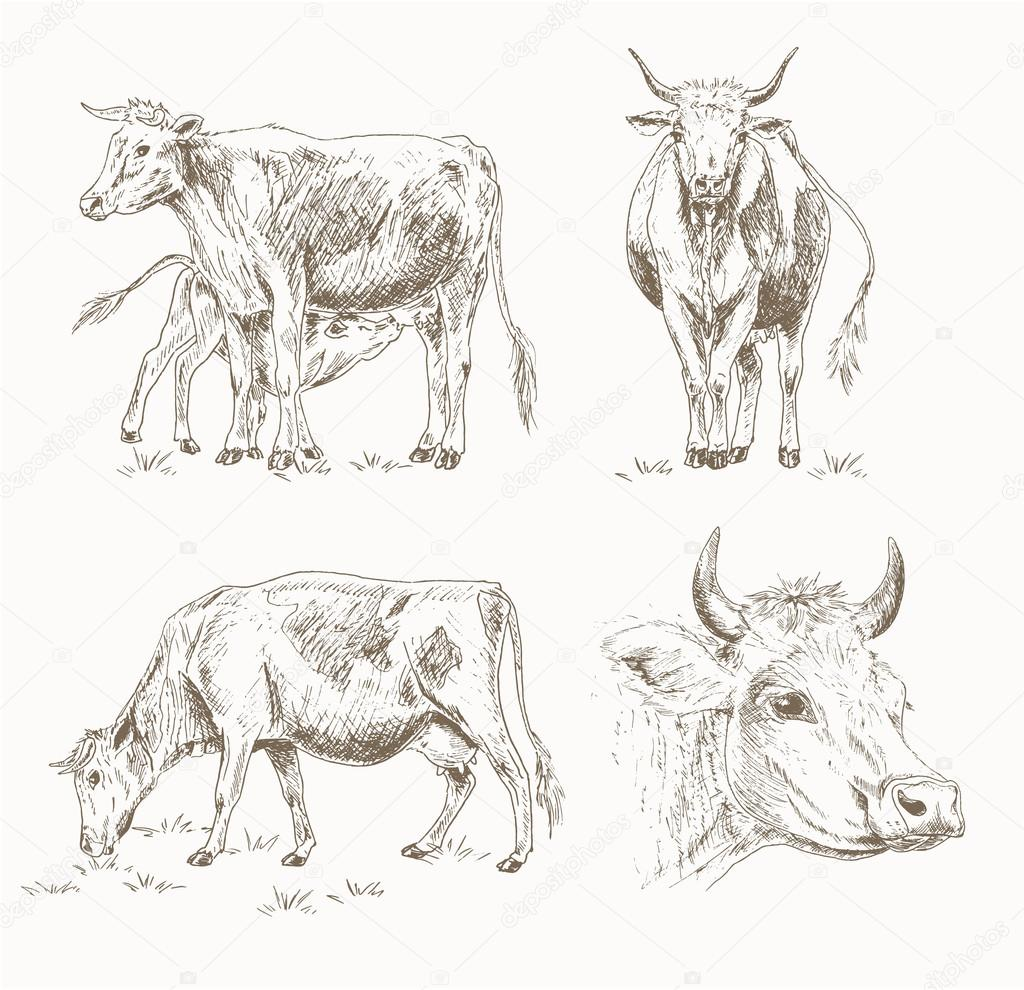 Dairy Cattle Sketch Set Cow Eating Grass Cute Calf Drinks Milk Cows Head Farm Vector Illustration Drawing Animals Isolated On