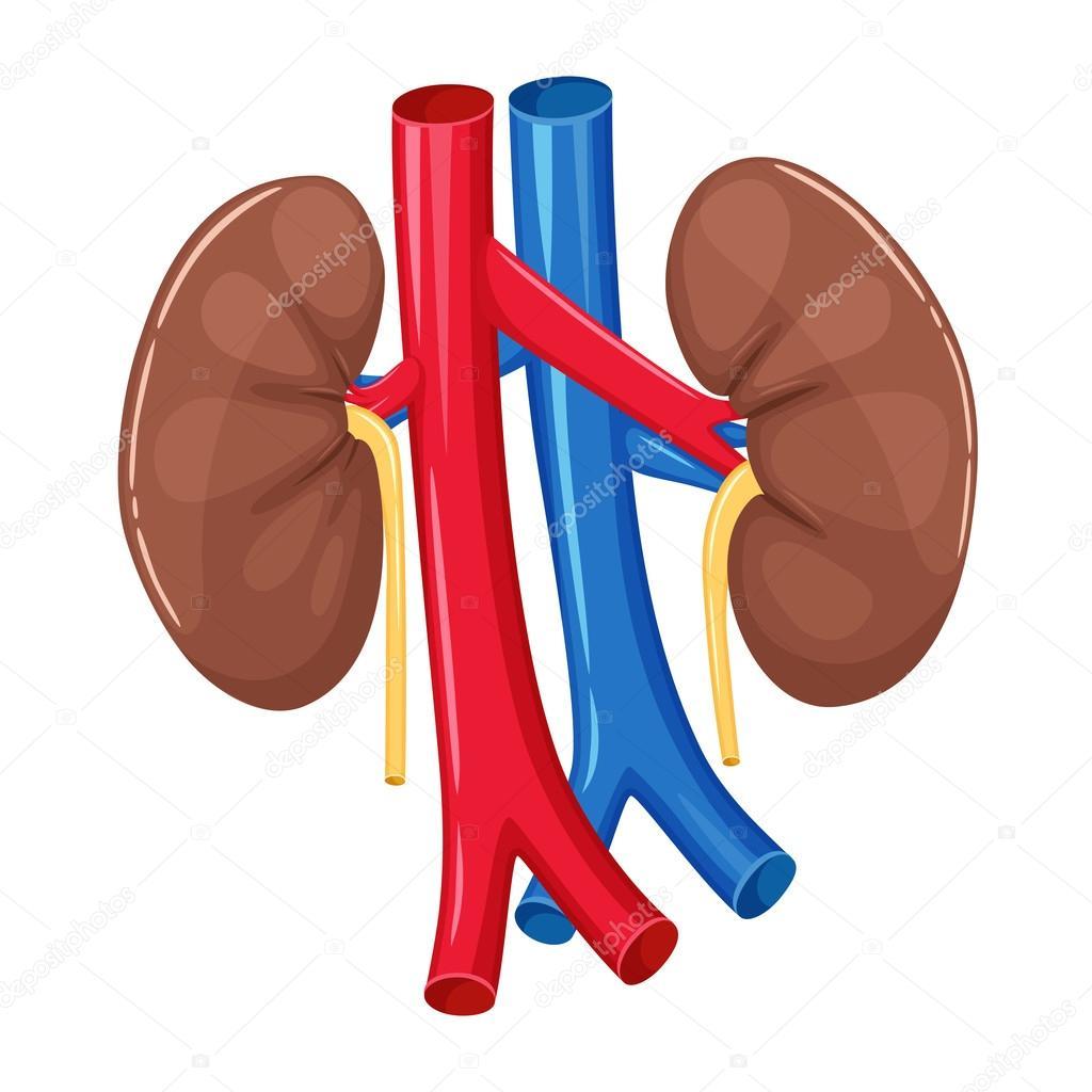 Anatomía del riñón humano — Vector de stock © nordfox #111923126