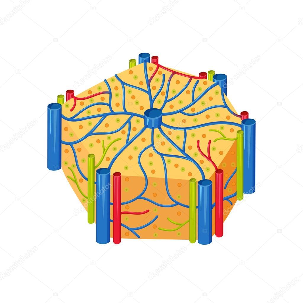 Lóbulos de hígado humanos — Archivo Imágenes Vectoriales © nordfox ...