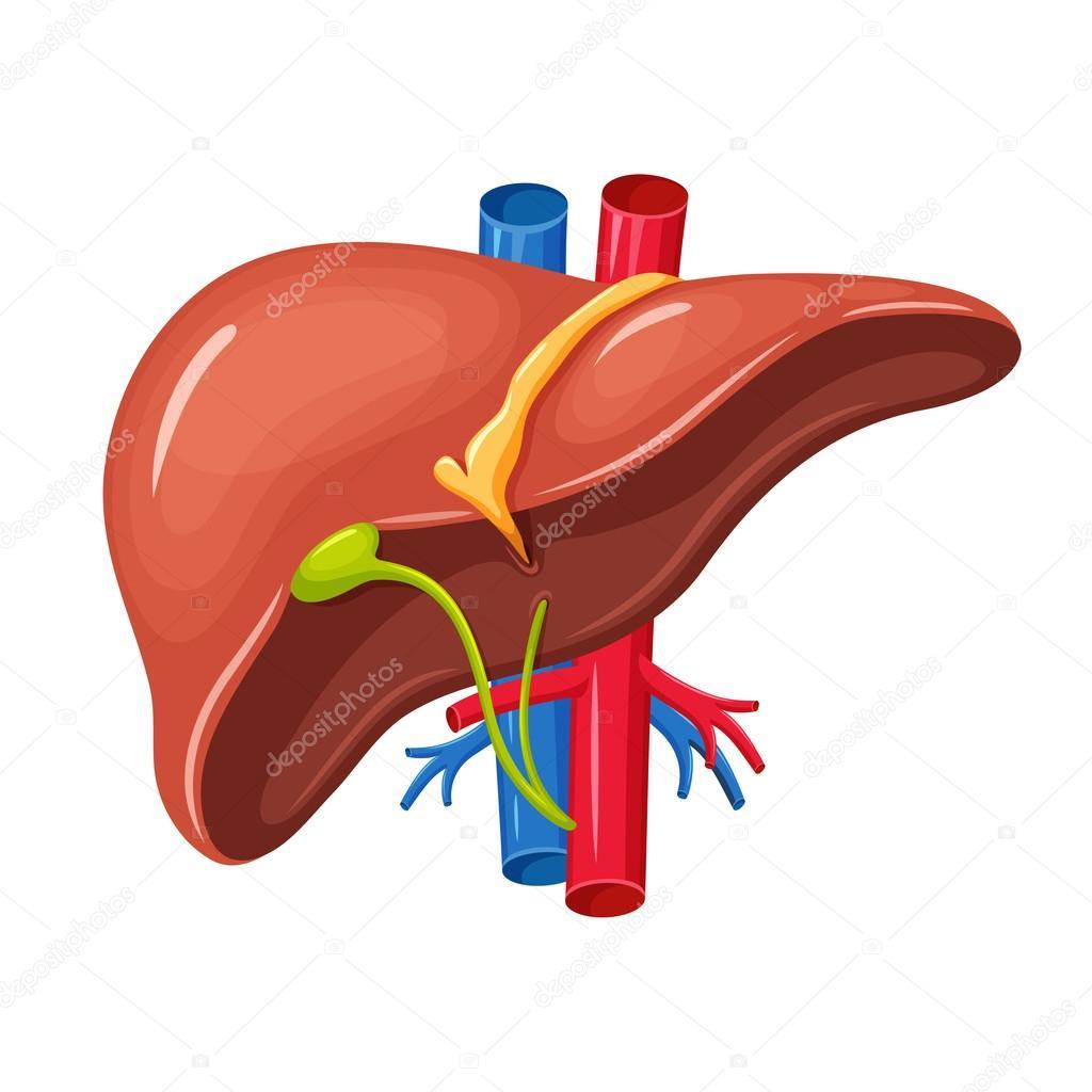 anatomía hepática — Archivo Imágenes Vectoriales © nordfox #113020426
