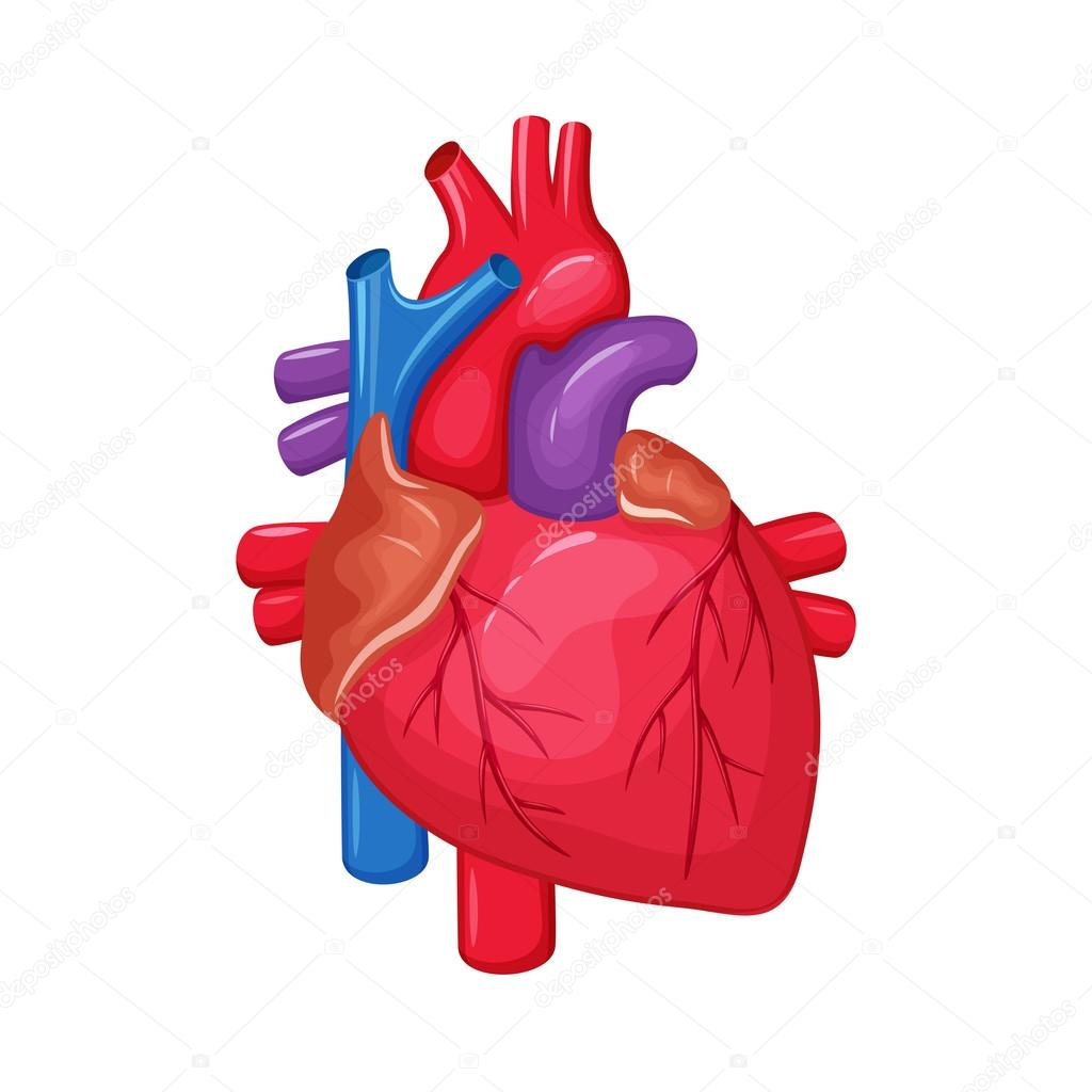 Human Heart Anatomy Stock Vector Nordfox 113020448