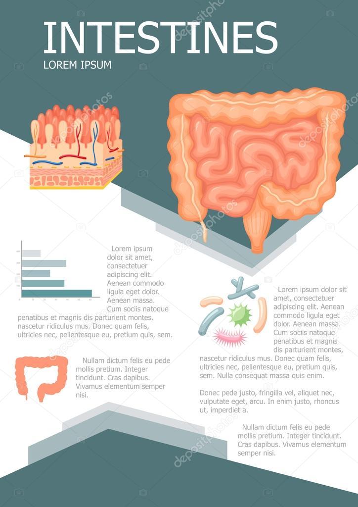 Infografía de los intestinos humanos — Vector de stock © nordfox ...