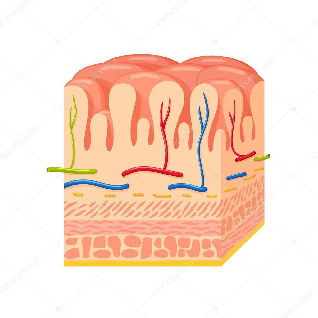 Magen Wand Anatomie — Stockvektor © nordfox #114094538