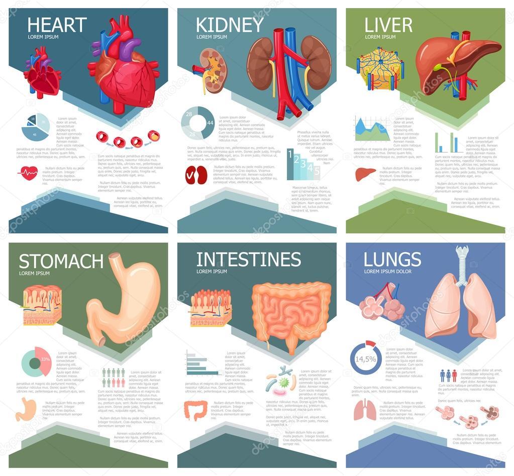 Anatomía de órganos humanos — Vector de stock © nordfox #114094596
