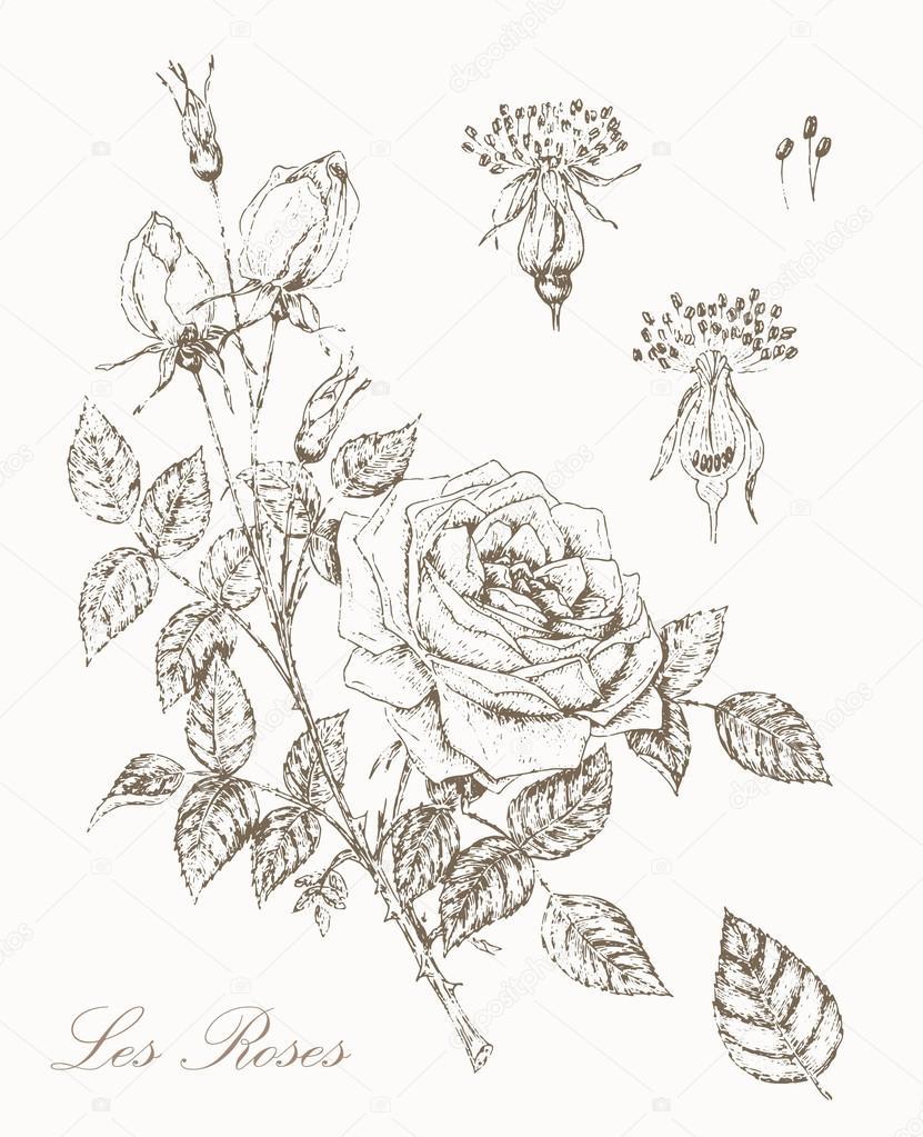 Vintage Rose Stock Vector C Nordfox 78099178