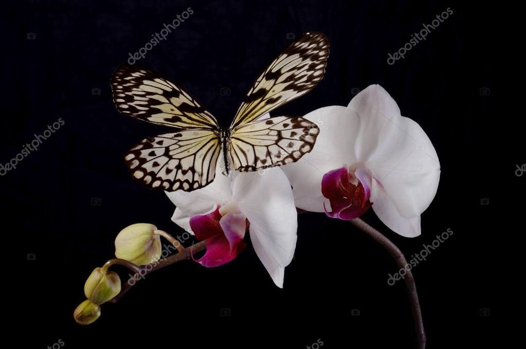 Butterfly on a white orchids.